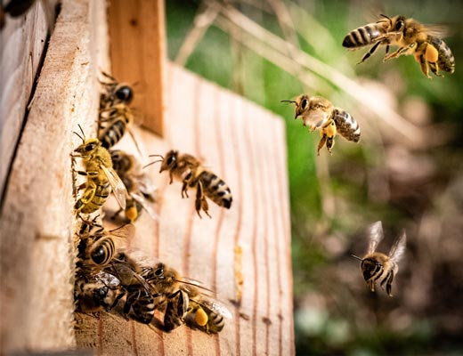 Bees flying into Beehive
