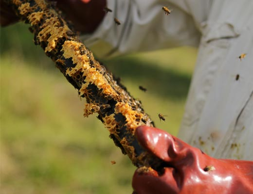 bee handler checking honeycomb