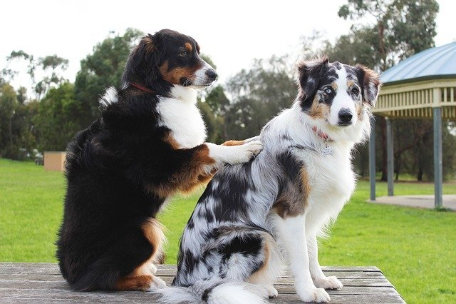 Dog giving another dog a massage