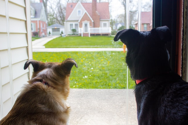 Two dogs sitting at window waiting for owner to return