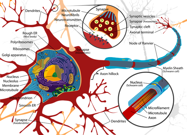 Detailed Synapse Diagram